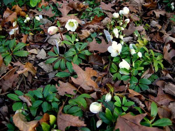 Цветок белый морозник весной фото в саду Морозник как посадить агротехника