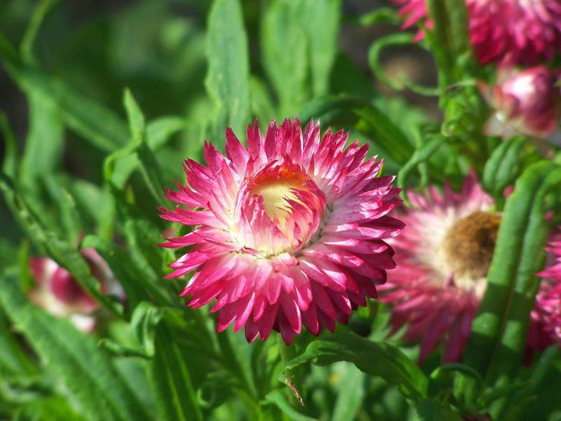 Цветок бессмертник посадка и уход фото
