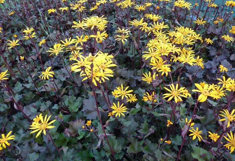 Цветок бузульник Осирис фэнтези ligularia dentata Osiris Fantasy посадка и уход Фото цветов в дизайне сада