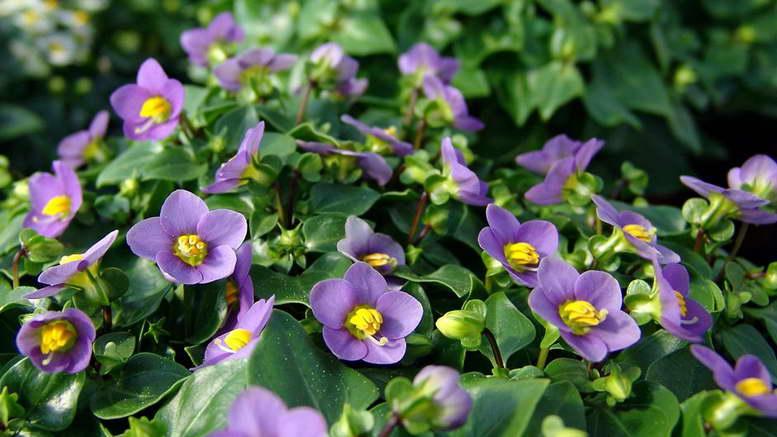Цветок экзакум фото Когда сеять и как выращивать из семян фото