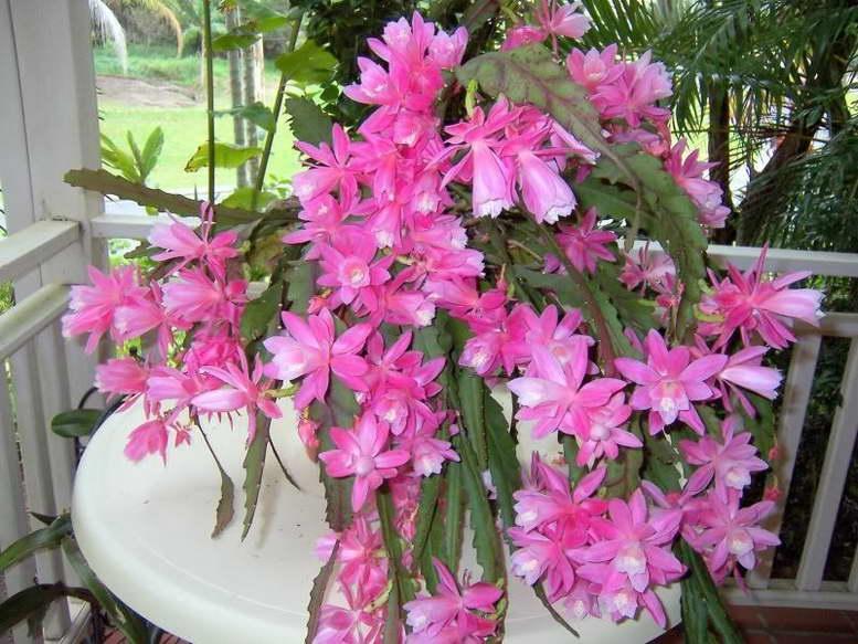 Цветок эпифиллум как ухаживать в домашних условиях фото