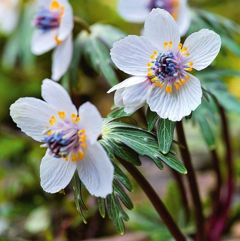 Цветок эрантис фото