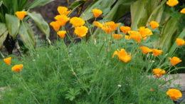 Цветок эшшольция посадка и уход в открытом грунте