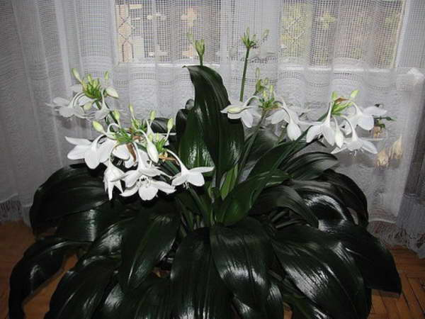 Цветок эухарис уход в домашних условиях Комнатное растение эухарис фото