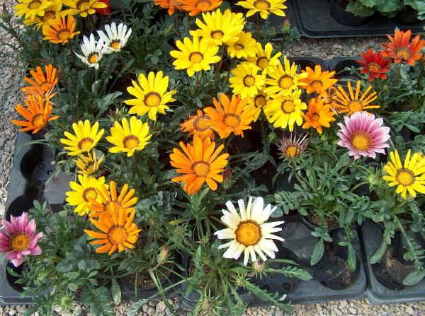 Цветок гацания фото рассады Выращивание из семян Когда высаживать гацанию в открытый грунт