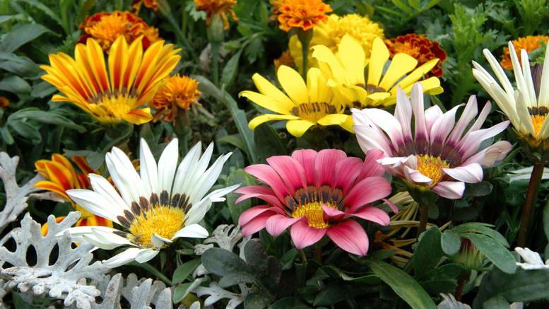 Цветок гацания многолетняя посадка и уход фото в саду