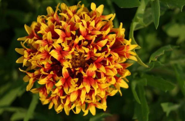 Цветок гайлардия лоллипап двухцветная фото в саду