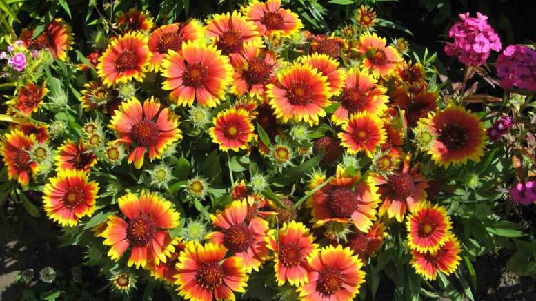 Цветок гайлардия многолетняя посадка и уход Фото в саду