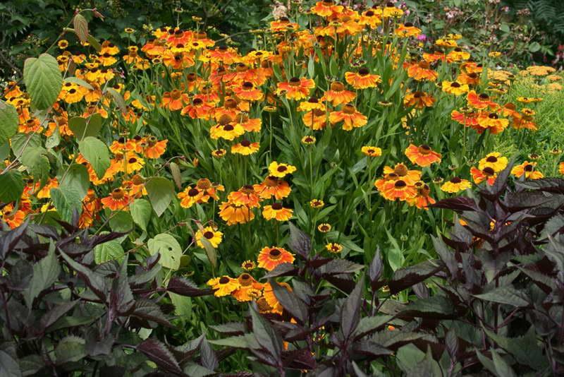 Цветок гелениум выращивание Гелениум когда сажать Гелениум в ландшафтном дизайне фото миксбордера