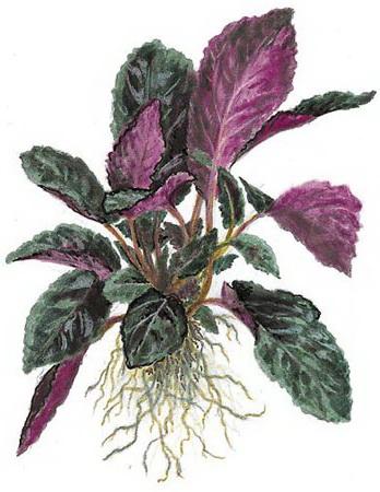 Цветок гемиграфис Hemigraphis пересадка и размножение делением куста