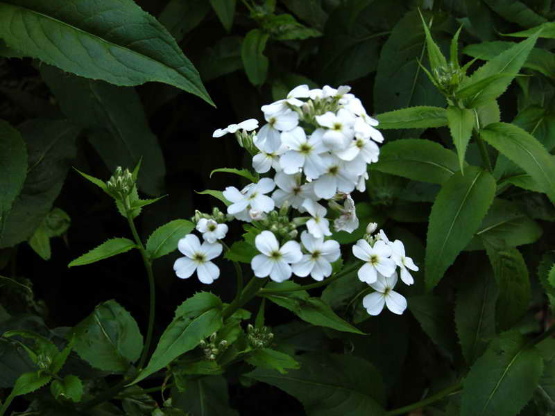 Цветок гесперис матроны белый фото в саду сорт Hesperis matronalis 'Alba'