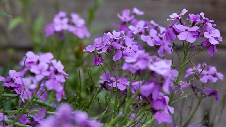 Цветок гесперис ночная фиалка фото в саду