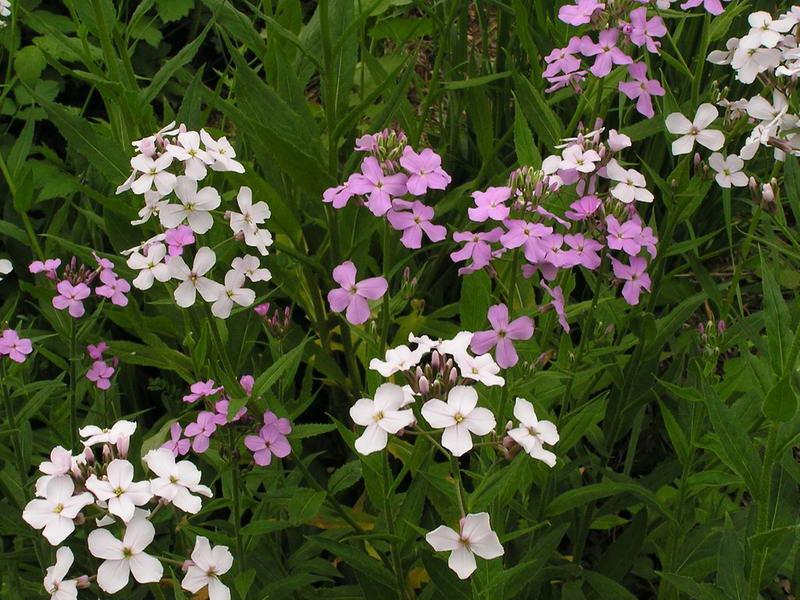 Цветок гесперис посадка и уход фото в саду Hesperis matronalis