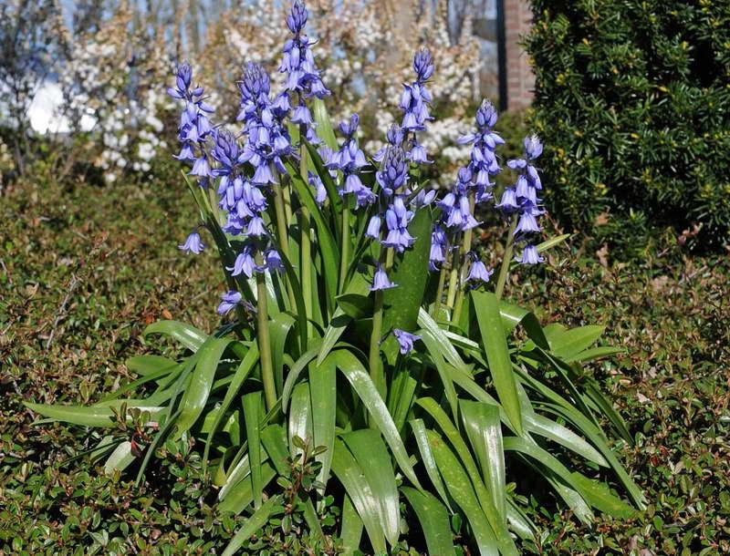 Цветок гиацинтоидес Hyacinthoides hispanica Excelsior фото