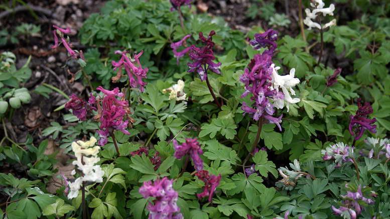 Цветок хохлатка Посадка и уход в открытом грунте Выращивание из семян Размножение Фото видов