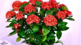 Цветок иксора в домашних условиях фото