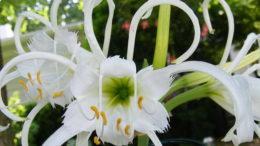 Цветок исмене посадка и уход в открытом грунте и домашних условиях фото цветов
