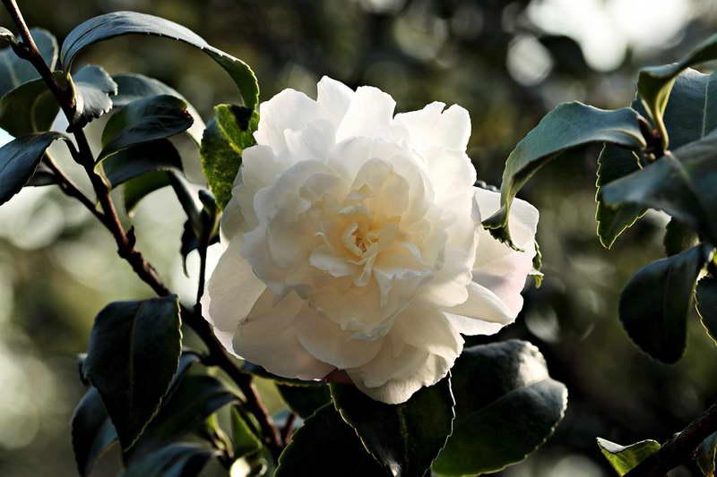 Цветок камелия уход и размножение в домашних условиях