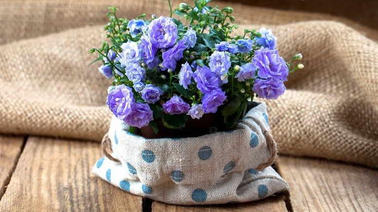 Цветок кампанула махровая Уход в домашних условиях Выращивание из семян