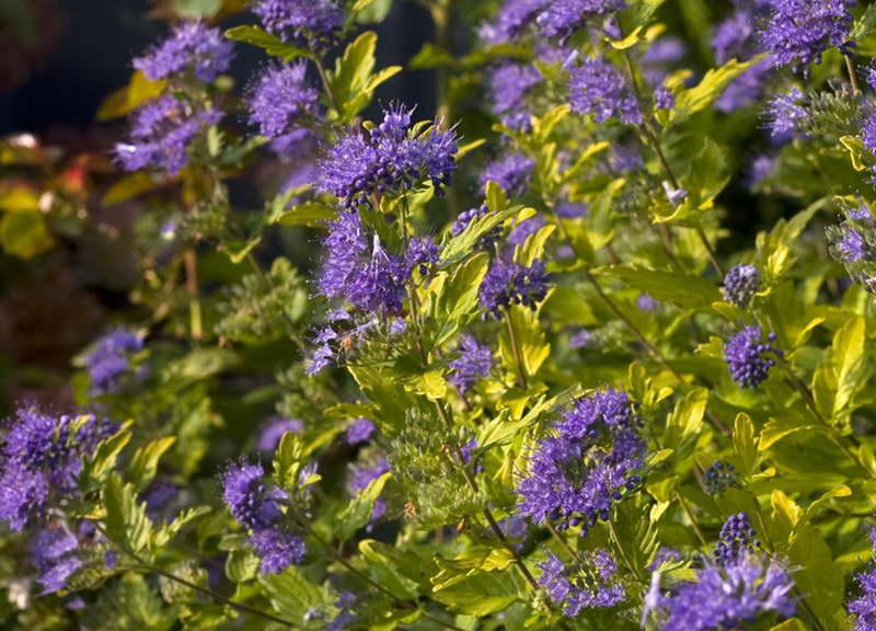 Цветок кариоптерис посадка и уход фото