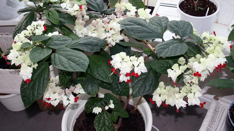 Цветок клеродендрум томпсона уход в домашних условиях фото