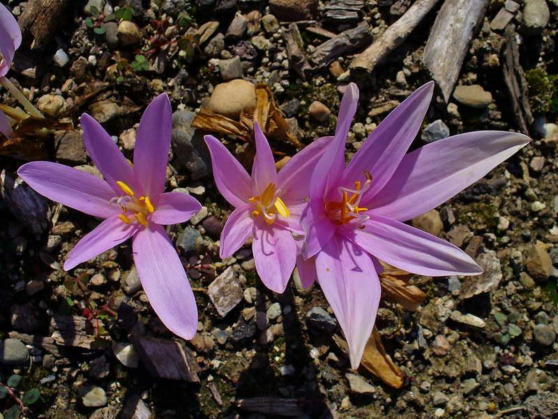 Цветок колхикум безвременник фото и описание растения