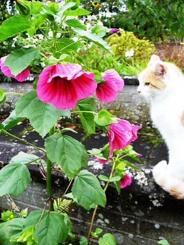 Цветок малопа фото