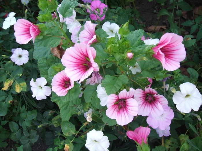 Цветок малопа посадка и уход фото на клумбе
