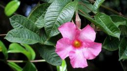 Цветок мандевилла уход в домашних условиях фото