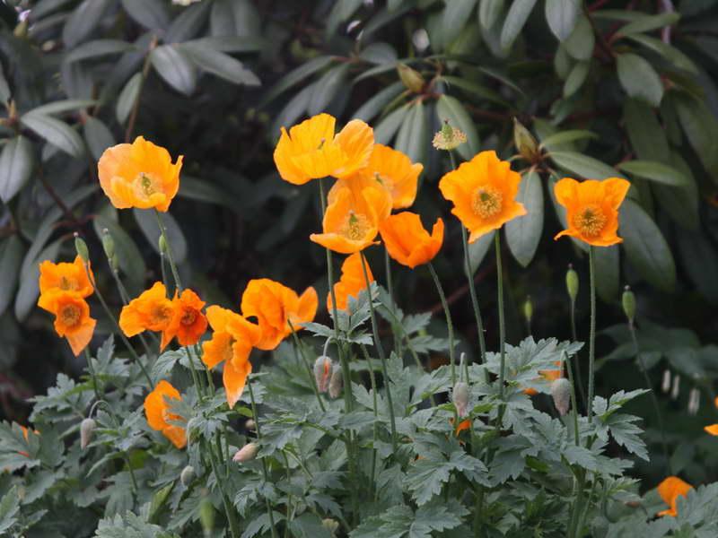 Цветок меконопсис камбрийский Meconopsis cambrica фото цветов