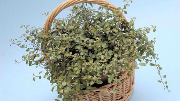 Цветок мюленбекия ампельная сорт Маори фото