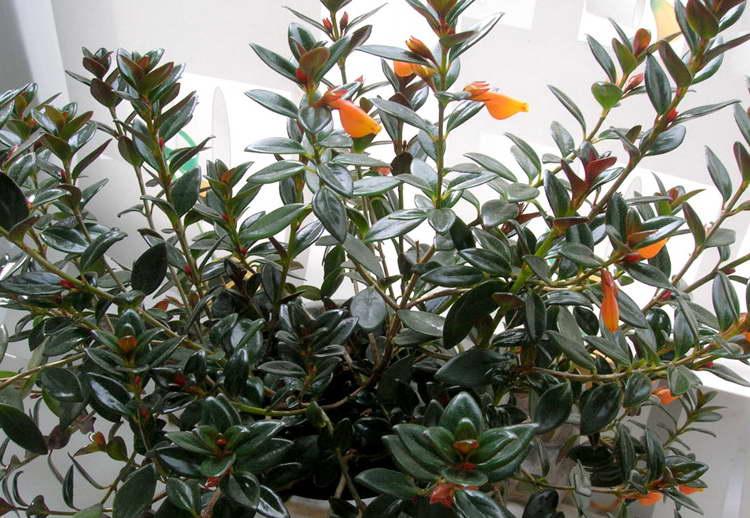 Цветок нематантус уход в домашних условиях фото