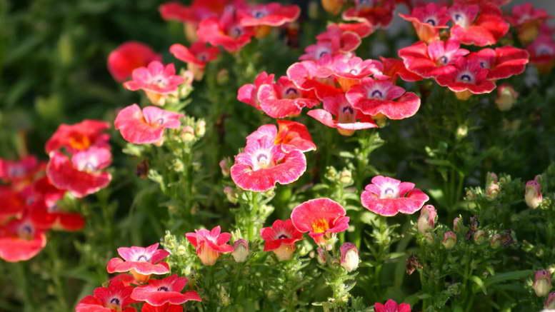 Цветок немезия посадка и уход в открытом грунте фото