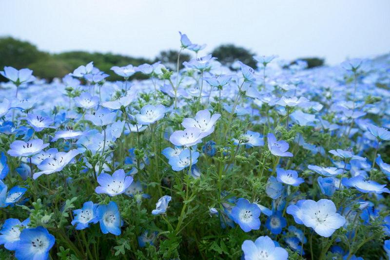 Цветок немофила посадка и уход