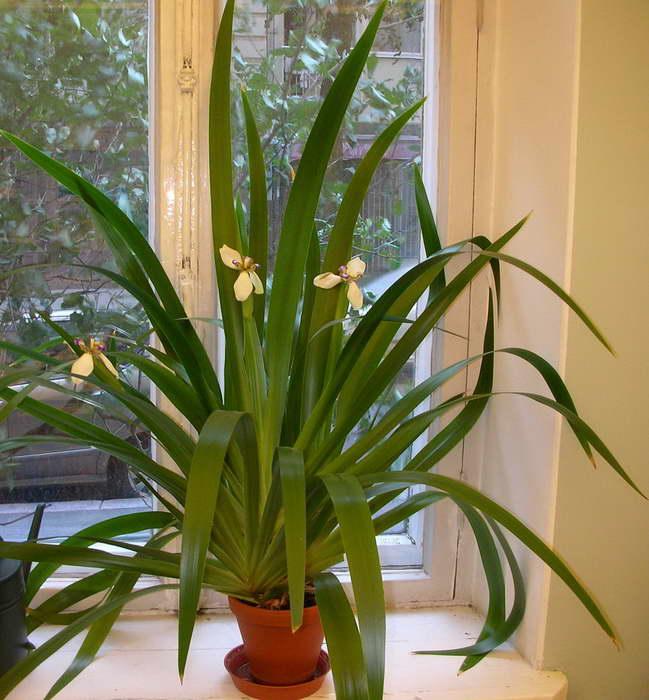 Цветок неомарика фото в домашних условиях