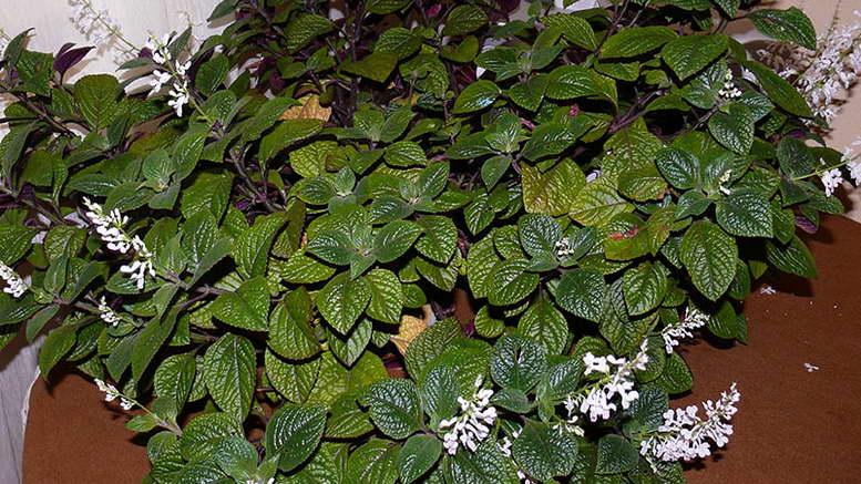 Цветок плектрантус фото посадка и выращивание в домашних условиях