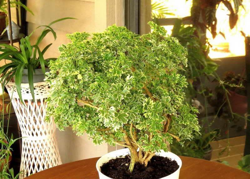 Цветок полисциас уход в домашних условиях фото растения