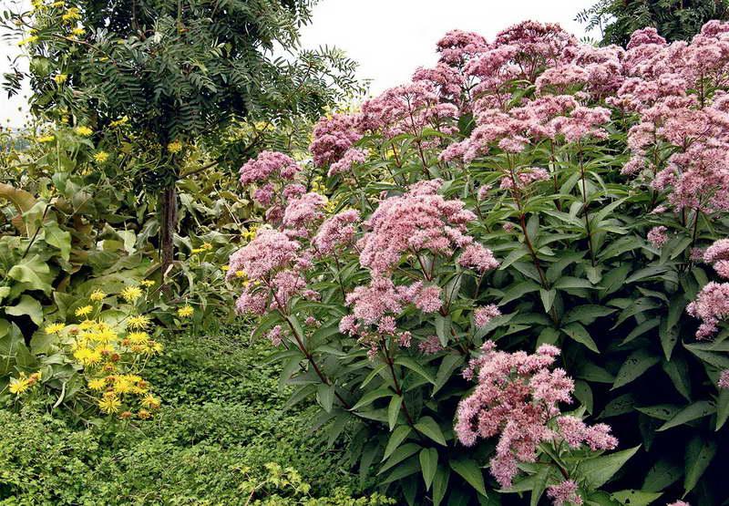 Цветок посконник посадка и уход размножение и выращивание