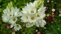 Цветок птицемлечник посадка и уход Фото цветов