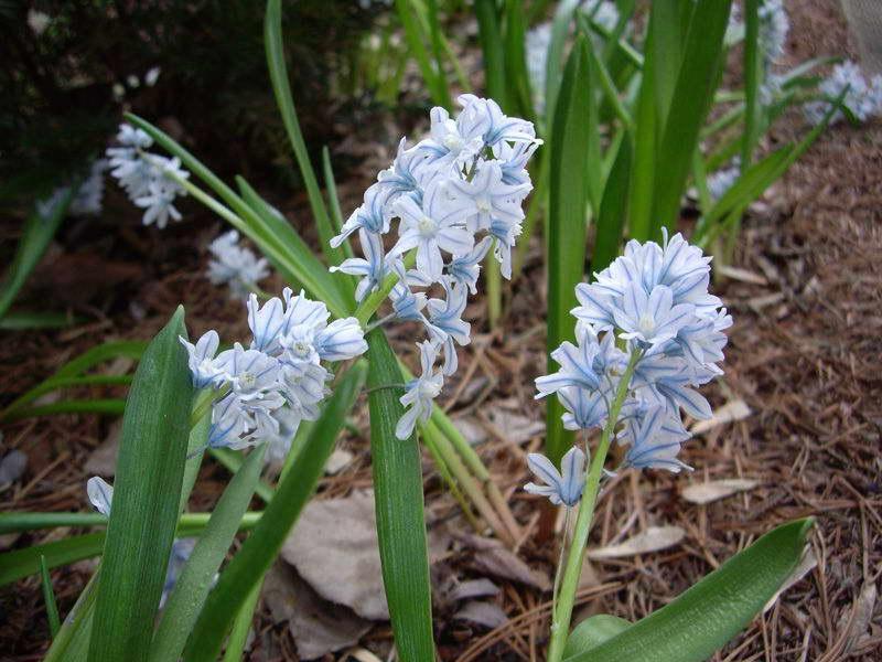 Цветок пушкиния либанотика посадка и уход в открытом грунте