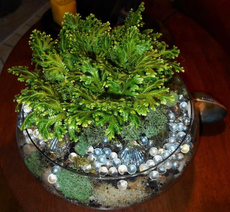 Цветок селагинелла как ухаживать в домашних условиях