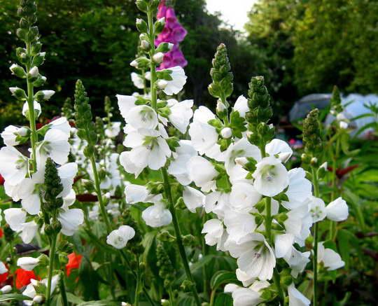 Цветок сидальцея фото сорт Sidalcea candida 'alba'
