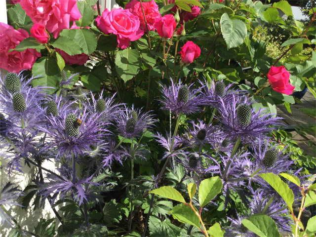 Цветок синеголовник посадка и уход в открытом грунте