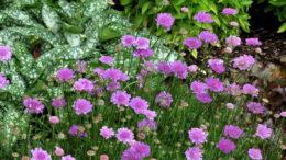 Цветок скабиоза посадка и уход в открытом грунте фото