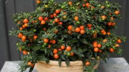 Цветок соланум псевдокапсикум уход в домашних условиях фото плодов