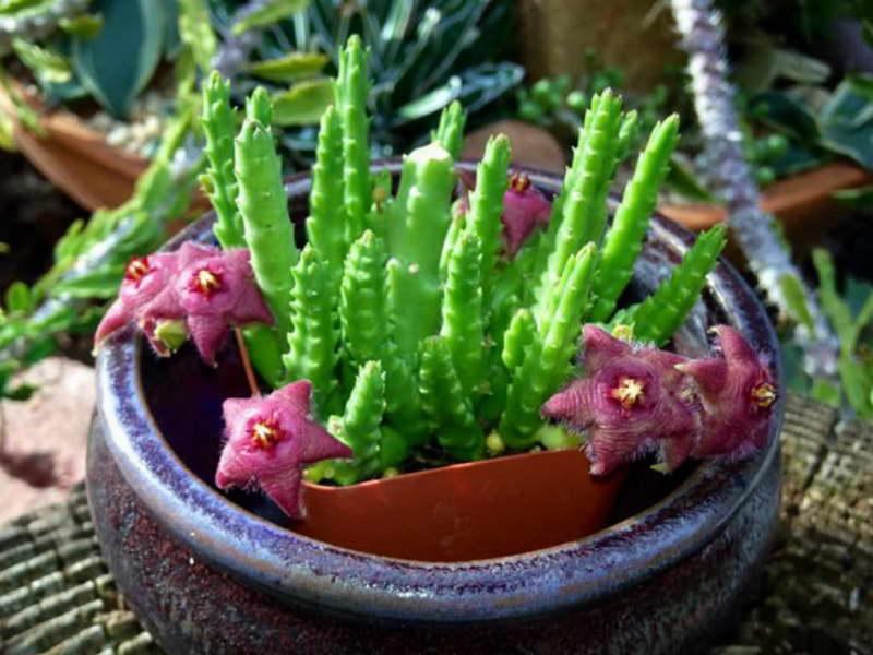 Цветок стапелия фото стапелия как заставить цвести