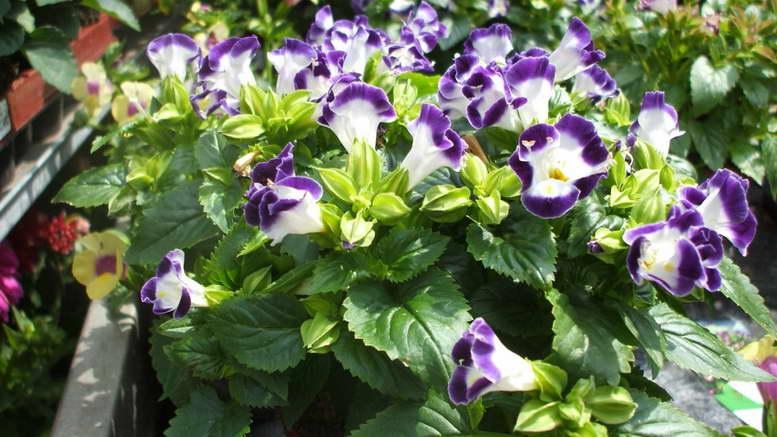 Цветок торения выращивание и уход фото