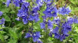 Цветок вероника в саду сорт Veronica austriaca 'Knallblau' фото