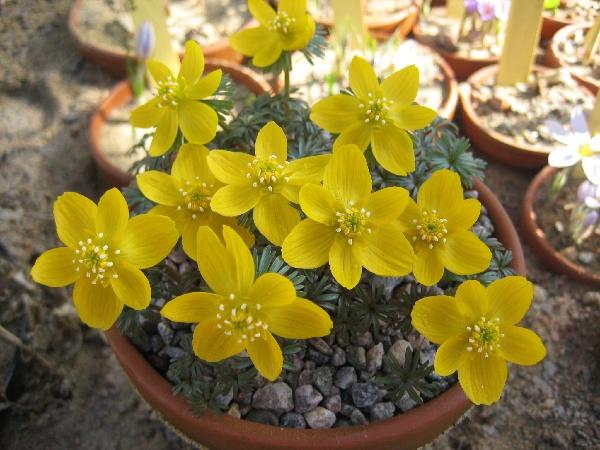 Цветок весенник фото цветов сорт Eranthis longistipitata
