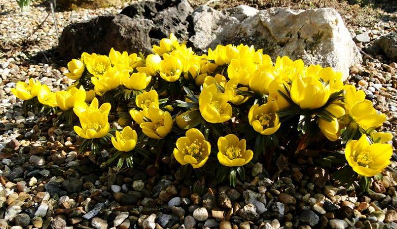 Цветок весенник в ландшафтном дизайне Eranthis tubergenii фото